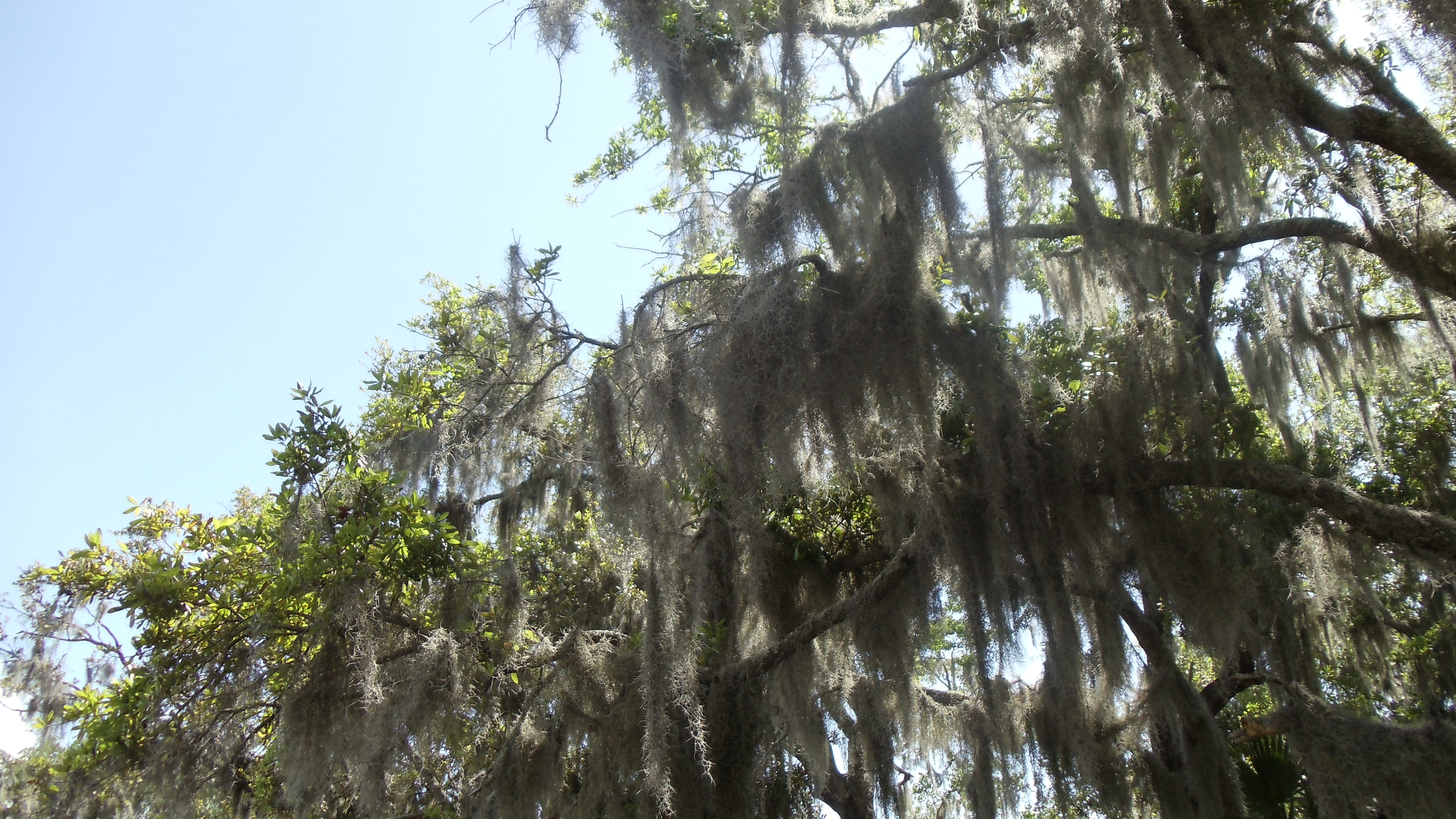 New Orleans Moss